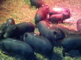 Продам въетнамских вислобрюхих свинок
