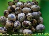 Перепелиные инкубационные яйца фараонов